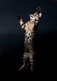 скакать кота Стоковые Фото