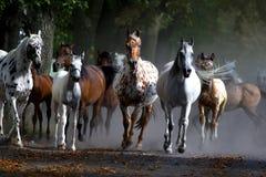 Скакать лошади на выгоне Стоковое Изображение