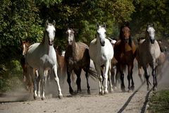 Скакать лошади на выгоне Стоковое фото RF