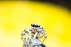 Скакать паука Стоковое Изображение