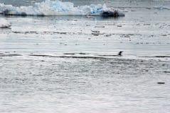 Скакать пингвина Gentoo, окруженный айсбергами стоковое фото rf