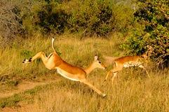 Скакать самца оленя импалы Стоковые Фотографии RF