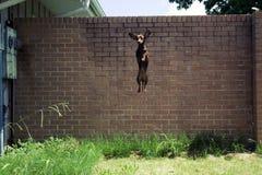 скакать dachshund стоковые изображения