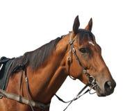 скаковая лошадь Стоковые Изображения
