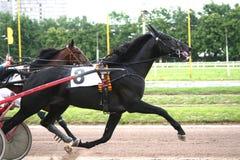 Скаковая лошадь обузданная к тележке Стоковая Фотография RF
