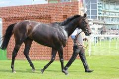 Скаковая лошадь после гонки, гонки Йорка, август 2015 Стоковое Фото