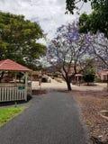 Скалистая тропа водя к зданиям и красивому пурпурному дереву Jacaranda стоковое изображение rf