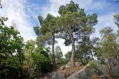 Скалистый хаос и сосна в лесе Фонтенбло стоковое изображение rf