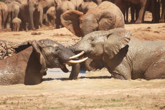 Скандаля слоны Стоковое Фото