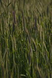 Скандинавская пшеница Стоковое Изображение RF