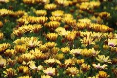 Скапливаемые желтые африканские маргаритки Стоковое Изображение