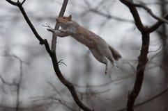 Скача белка Стоковая Фотография RF