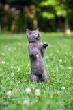 скача играть котенка Стоковая Фотография RF