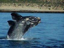 Скача кит младенца стоковое изображение
