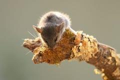 Скача мышь смотря вниз Стоковая Фотография