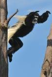 скача обезьяна Стоковые Изображения