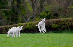 Скача овечка младенца Стоковое фото RF