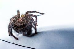 Скача паук захватил в конце вверх стоковое фото rf