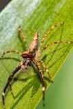 Скача паук на лист Стоковая Фотография RF