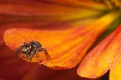 Скача паук на оранжевом лепестке Стоковая Фотография