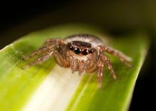 Скача паук Стоковое Изображение