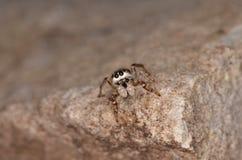 Скача паук (encarpatus Pseudicius) Стоковые Фотографии RF