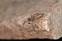 Скача паук (encarpatus Pseudicius) Стоковые Изображения RF