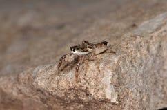 Скача паук (encarpatus Pseudicius) Стоковое Изображение RF