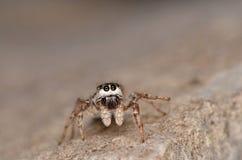 Скача паук (encarpatus Pseudicius) Стоковые Изображения