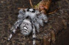 Скача паук (Phidippus regius) от Antillean островов Стоковая Фотография RF