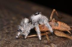 Скача паук (Phidippus regius) от Antillean островов Стоковое фото RF