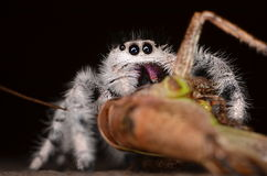 Скача паук (Phidippus regius) от Antillean островов Стоковое Изображение RF