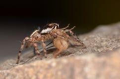 Скача паук (Phidippus regius) от Antillean островов Стоковые Изображения
