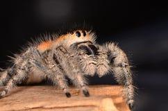 Скача паук Phidippus regius Стоковые Изображения RF
