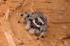 Скача паук Phidippus regius Стоковое Изображение