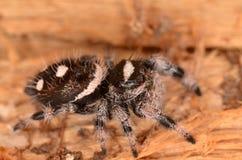 Скача паук Phidippus regius Стоковое фото RF