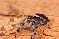 Скача паук Phidippus regius Стоковое Фото