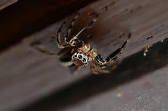 Скача паук Salticidae стоя вверх ногами на деревянной предпосылке Стоковое Изображение RF