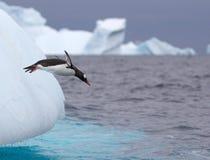Скача пингвин Gentoo Стоковые Фото