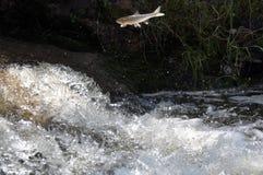 Скача рыбы стоковая фотография rf
