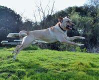 Скача собака с ручкой Стоковые Изображения