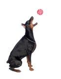 Скача собака стоковое фото