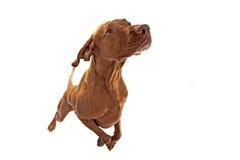 Скача собака Стоковое Изображение