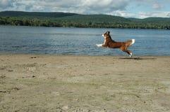 Скача собака Стоковая Фотография