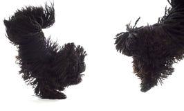 Скача собаки Стоковое Фото
