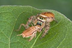скача спайдер prey Стоковая Фотография RF