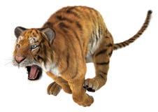 Скача тигр стоковая фотография