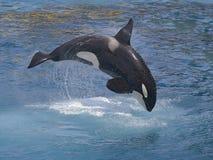 скача убийца вне мочит кита Стоковое Изображение RF