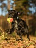 Скача черный щенок с шариком Красивое фото собаки осени в движении стоковая фотография rf