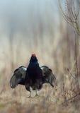 Скача черный Grouse Стоковое фото RF